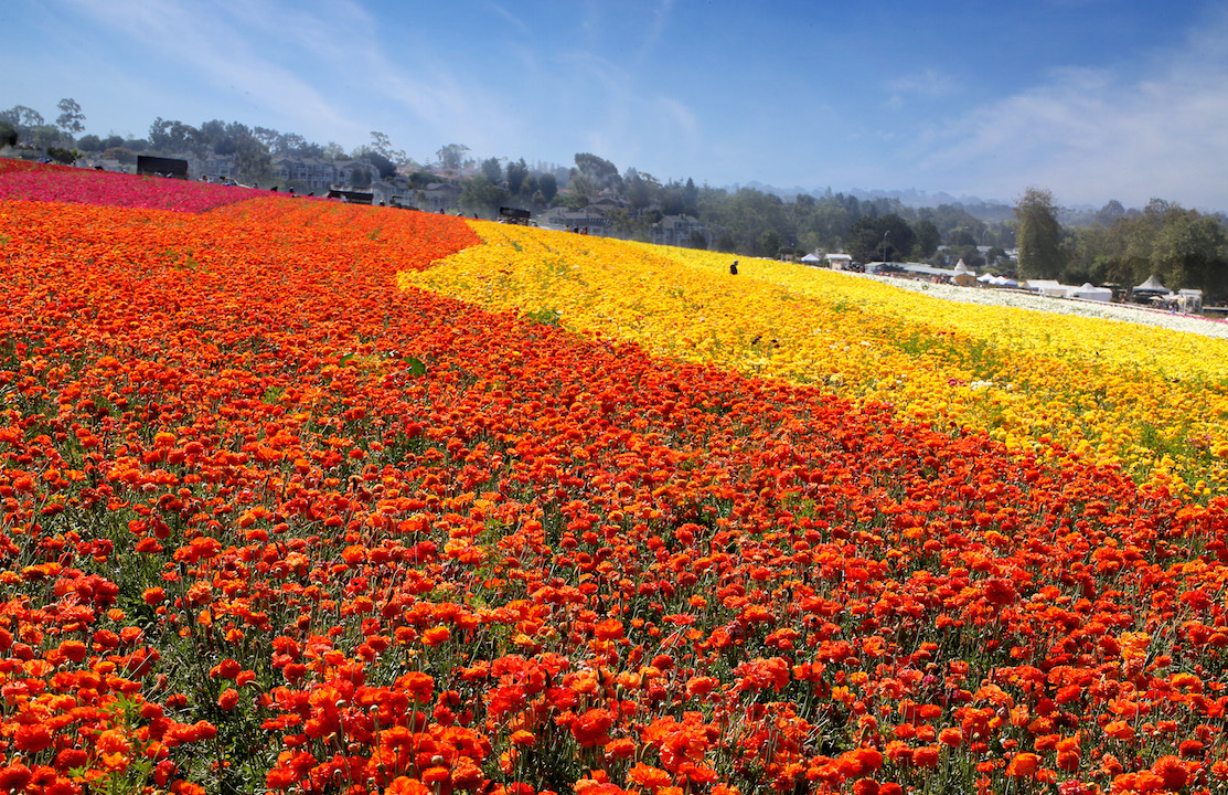 Tickets Available For The Carlsbad Flower Fields Oc Mom Blog