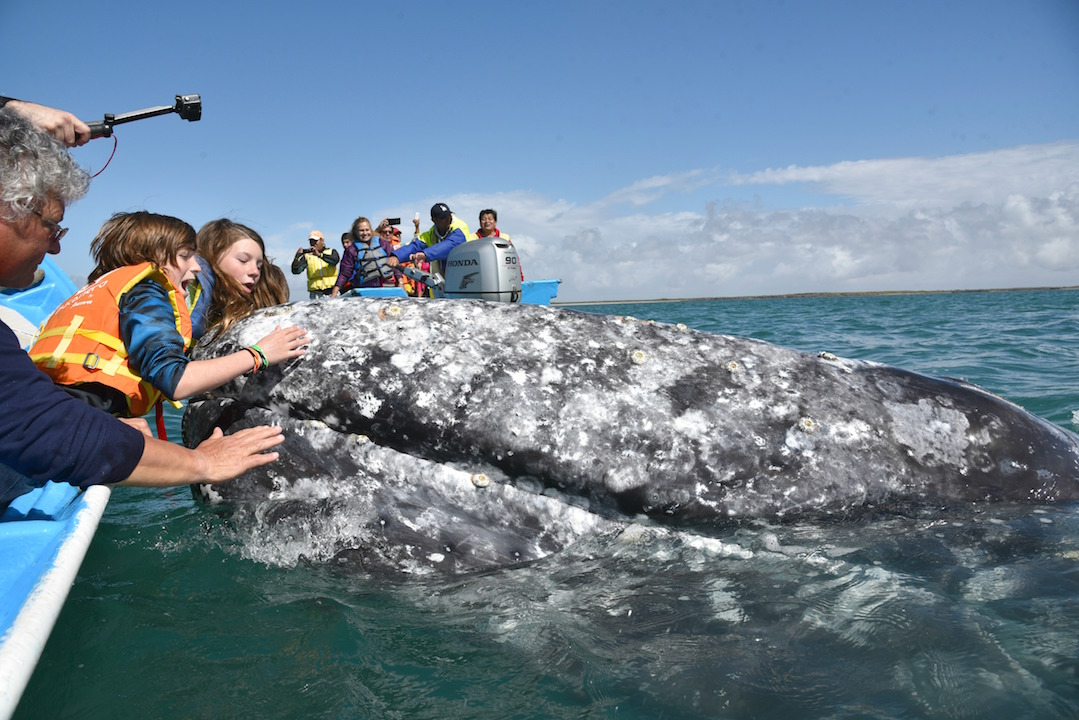Touching Gray Whales In Magdalena Bay Mexico Oc Mom Blog